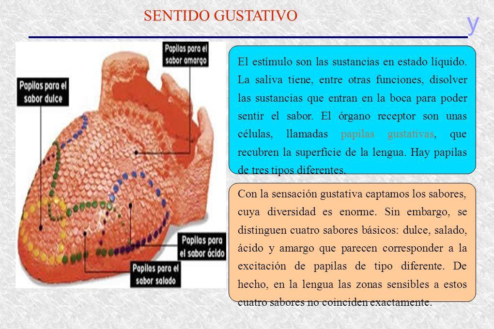 y SENTIDO GUSTATIVO El estímulo son las sustancias en estado líquido. La saliva tiene, entre otras funciones, disolver las sustancias que entran en la