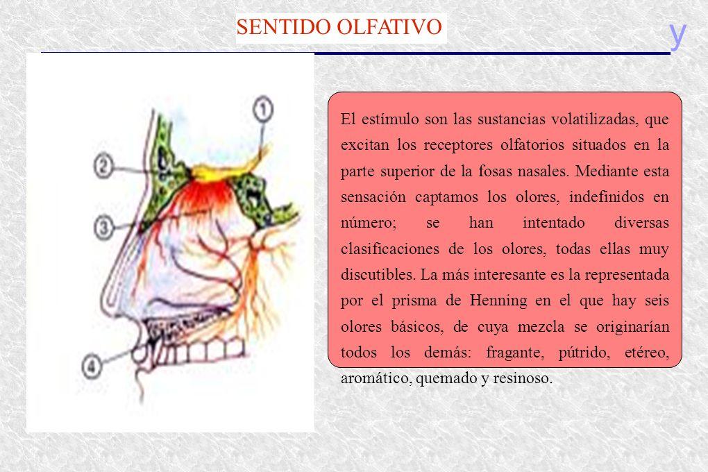 y SENTIDO OLFATIVO El estímulo son las sustancias volatilizadas, que excitan los receptores olfatorios situados en la parte superior de la fosas nasal