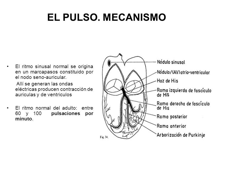 Activación sistema de conducción Contracción del ventrículo izquierdo Expulsión de un volumen adecuado de sangre hacia la aorta Transmisión de la onda pulsátil hacia todas las arterias periféricas PULSO