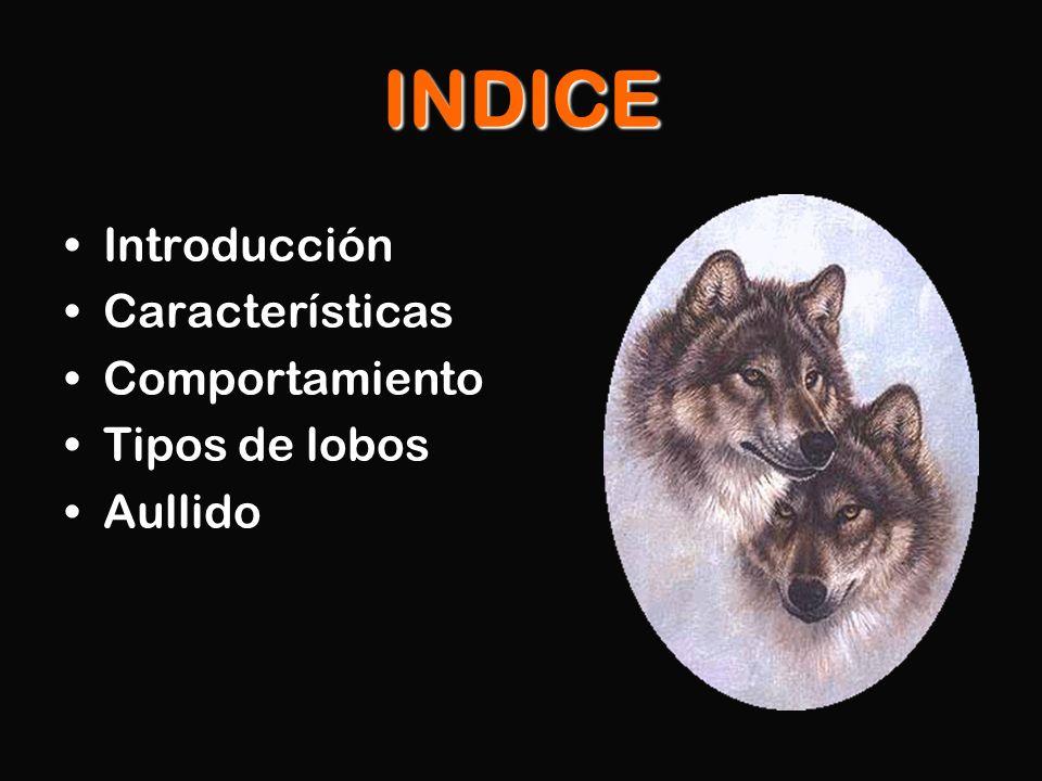 INDICE Introducción Características Comportamiento Tipos de lobos Aullido