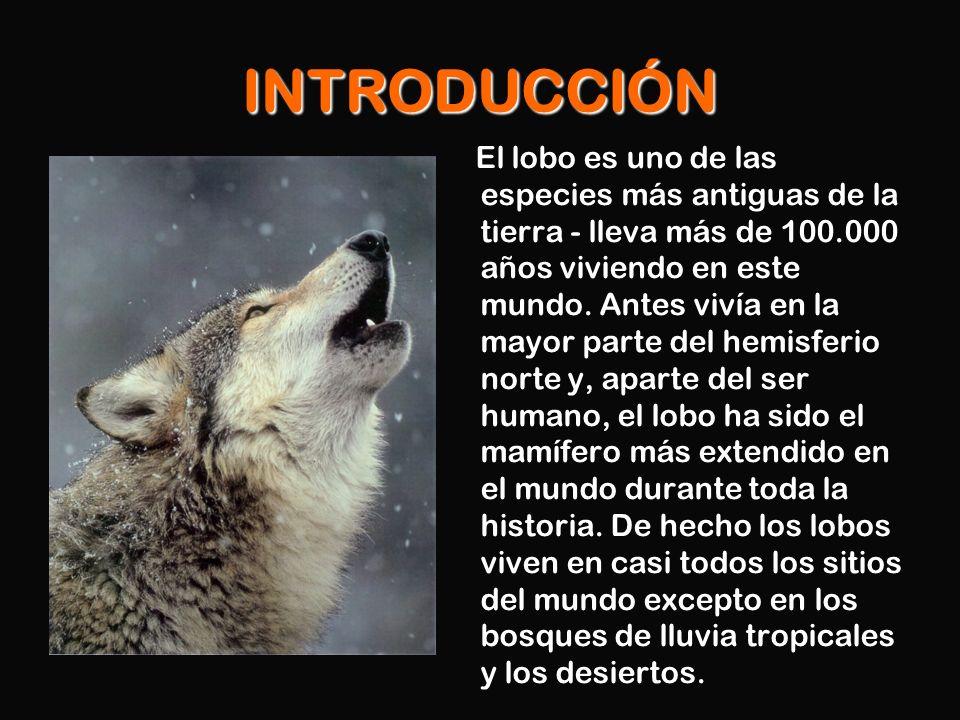 CARACTERÍSTICAS Los lobos miden entre uno y dos metros.