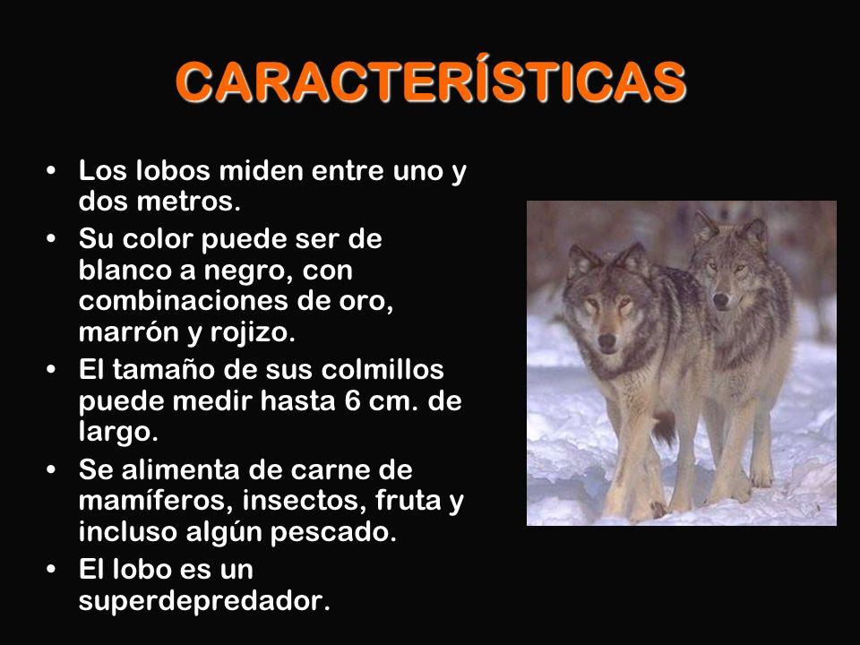 CARACTERÍSTICAS Los lobos miden entre uno y dos metros. Su color puede ser de blanco a negro, con combinaciones de oro, marrón y rojizo. El tamaño de