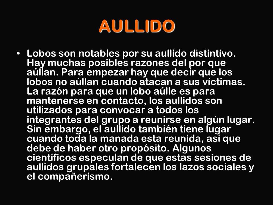 AULLIDO Lobos son notables por su aullido distintivo. Hay muchas posibles razones del por que aúllan. Para empezar hay que decir que los lobos no aúll