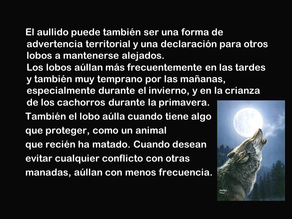 El aullido puede también ser una forma de advertencia territorial y una declaración para otros lobos a mantenerse alejados. Los lobos aúllan más frecu