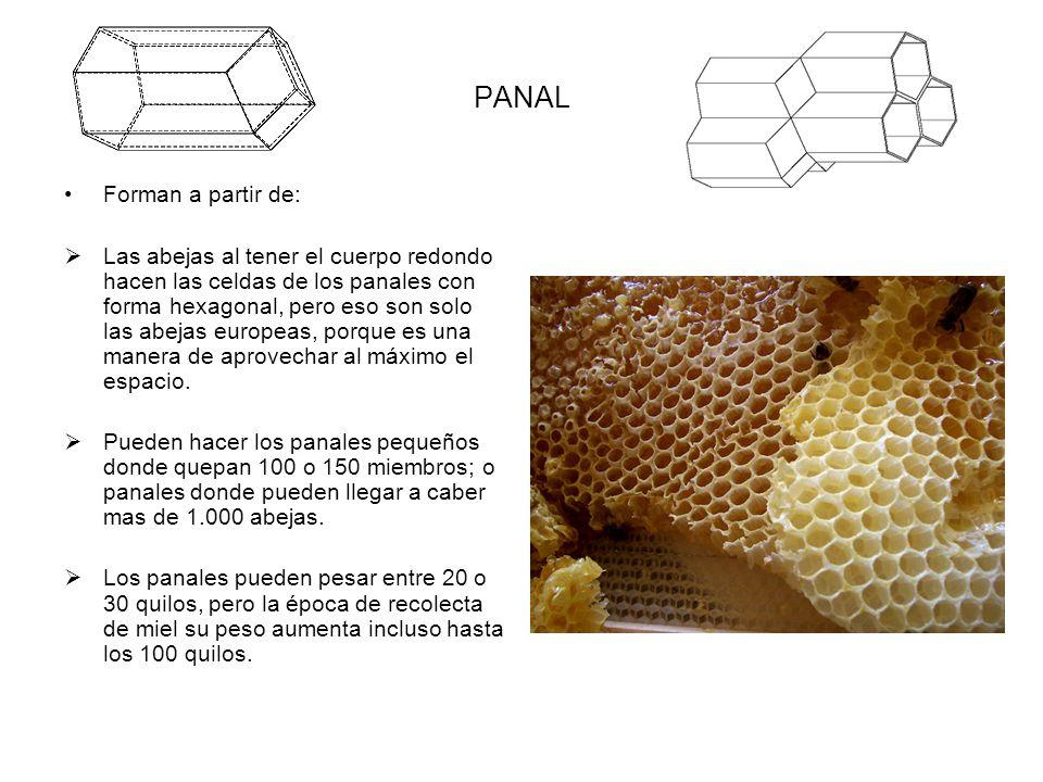 PANAL Forman a partir de: Las abejas al tener el cuerpo redondo hacen las celdas de los panales con forma hexagonal, pero eso son solo las abejas euro