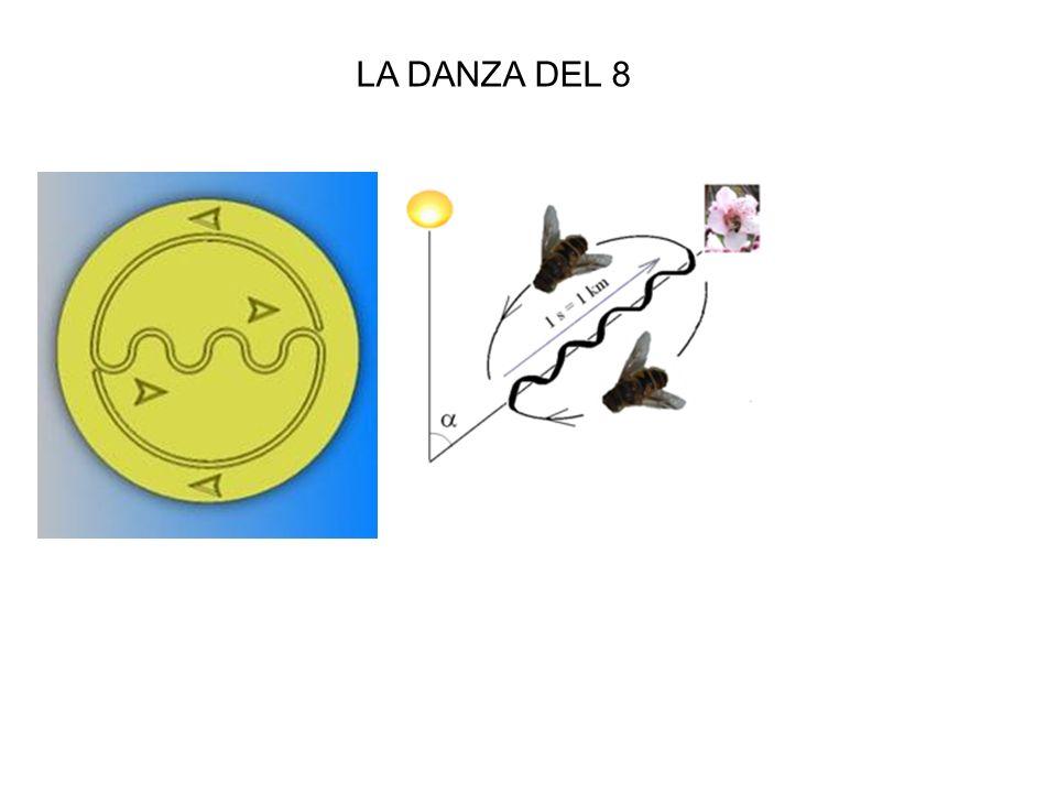 LA DANZA DEL 8