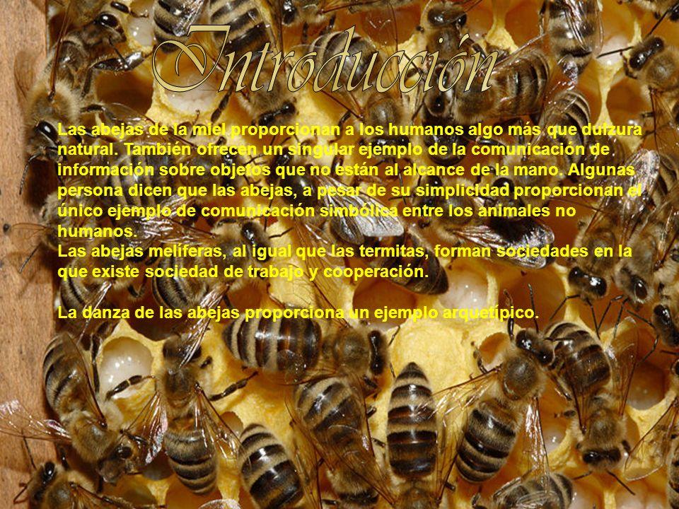 Las abejas de la miel proporcionan a los humanos algo más que dulzura natural. También ofrecen un singular ejemplo de la comunicación de información s