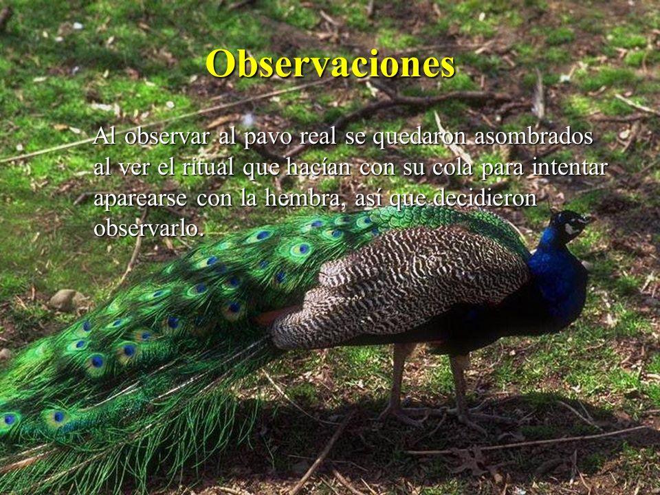 Observaciones Al observar al pavo real se quedaron asombrados al ver el ritual que hacían con su cola para intentar aparearse con la hembra, así que d