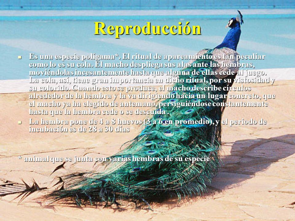 Reproducción Es una especie polígama*. El ritual de apareamiento es tan peculiar como lo es su cola. El macho despliega sus alas ante las hembras, mov