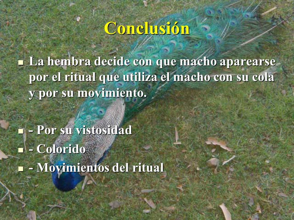 Conclusión La hembra decide con que macho aparearse por el ritual que utiliza el macho con su cola y por su movimiento. La hembra decide con que macho
