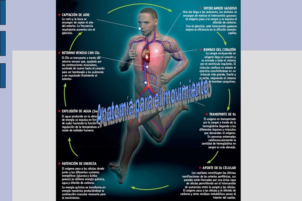 Psoas iliaco Articulación: Cadera Es un músculo que interviene en el tono postural, muy involucrado en multitud de gestos deportivos.