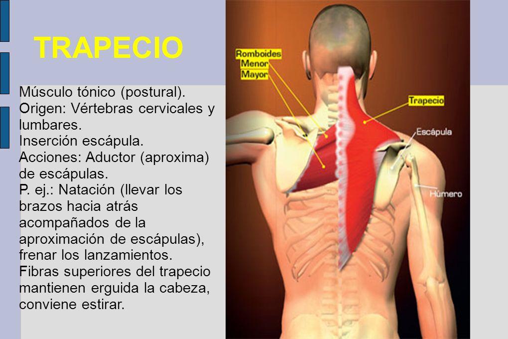 TRAPECIO Músculo tónico (postural). Origen: Vértebras cervicales y lumbares. Inserción escápula. Acciones: Aductor (aproxima) de escápulas. P. ej.: Na