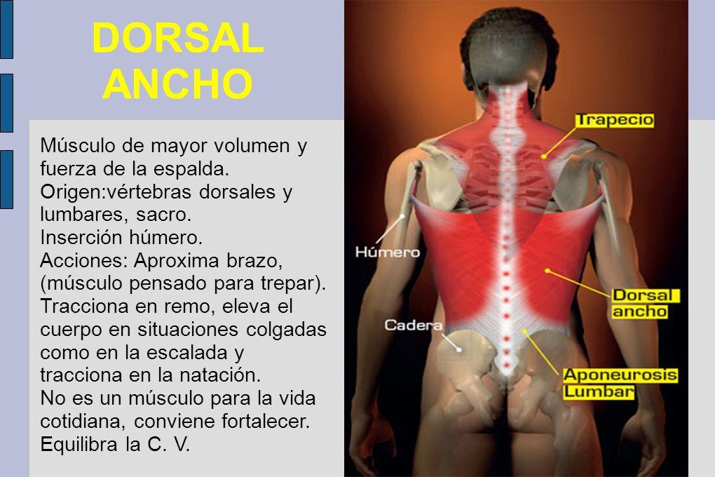 DORSAL ANCHO Músculo de mayor volumen y fuerza de la espalda. Origen:vértebras dorsales y lumbares, sacro. Inserción húmero. Acciones: Aproxima brazo,