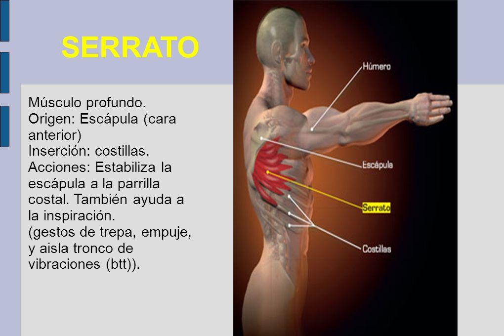 SERRATO Músculo profundo. Origen: Escápula (cara anterior) Inserción: costillas. Acciones: Estabiliza la escápula a la parrilla costal. También ayuda