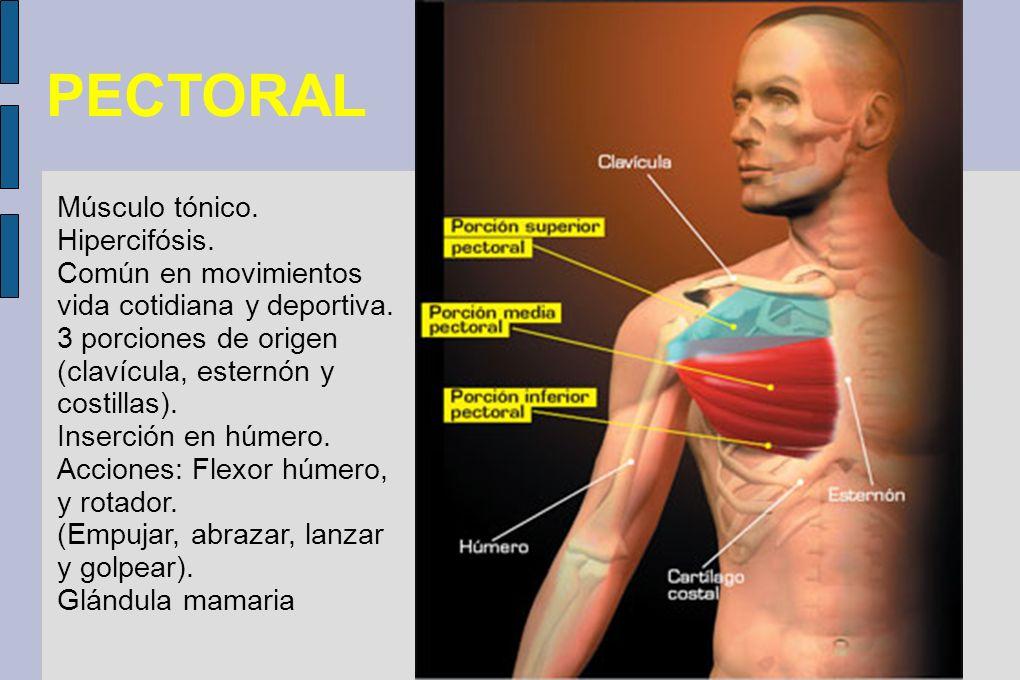 PECTORAL Músculo tónico. Hipercifósis. Común en movimientos vida cotidiana y deportiva. 3 porciones de origen (clavícula, esternón y costillas). Inser