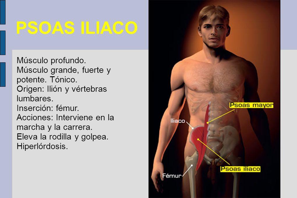 PSOAS ILIACO Músculo profundo. Músculo grande, fuerte y potente. Tónico. Origen: Ilión y vértebras lumbares. Inserción: fémur. Acciones: Interviene en