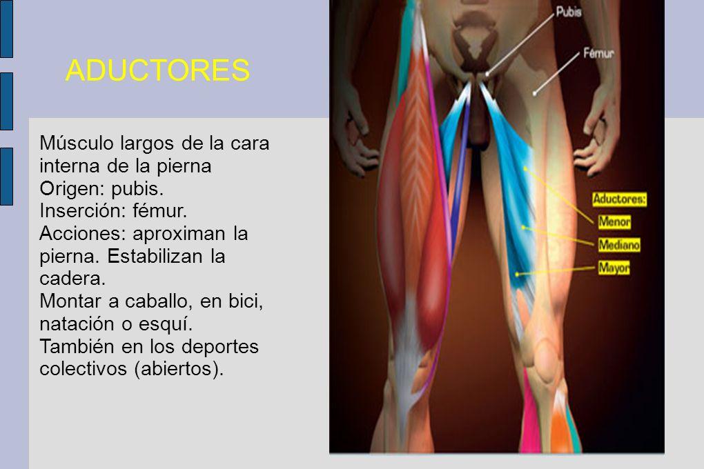 ADUCTORES Músculo largos de la cara interna de la pierna Origen: pubis. Inserción: fémur. Acciones: aproximan la pierna. Estabilizan la cadera. Montar