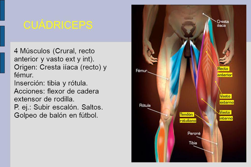 CUÁDRICEPS 4 Músculos (Crural, recto anterior y vasto ext y int). Origen: Cresta iíaca (recto) y fémur. Inserción: tibia y rótula. Acciones: flexor de