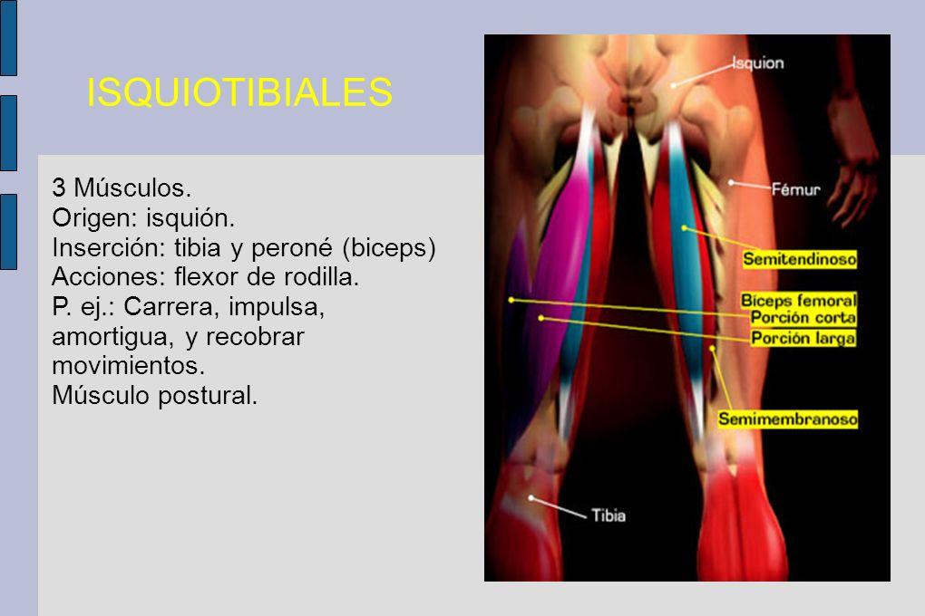 ISQUIOTIBIALES 3 Músculos. Origen: isquión. Inserción: tibia y peroné (biceps) Acciones: flexor de rodilla. P. ej.: Carrera, impulsa, amortigua, y rec