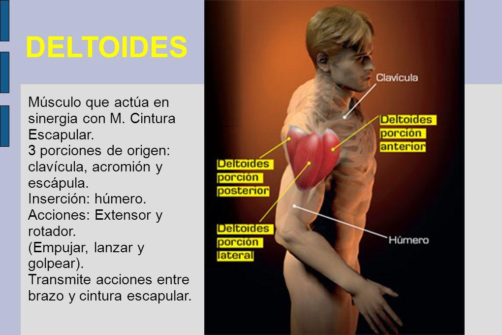 DELTOIDES Músculo que actúa en sinergia con M. Cintura Escapular. 3 porciones de origen: clavícula, acromión y escápula. Inserción: húmero. Acciones: