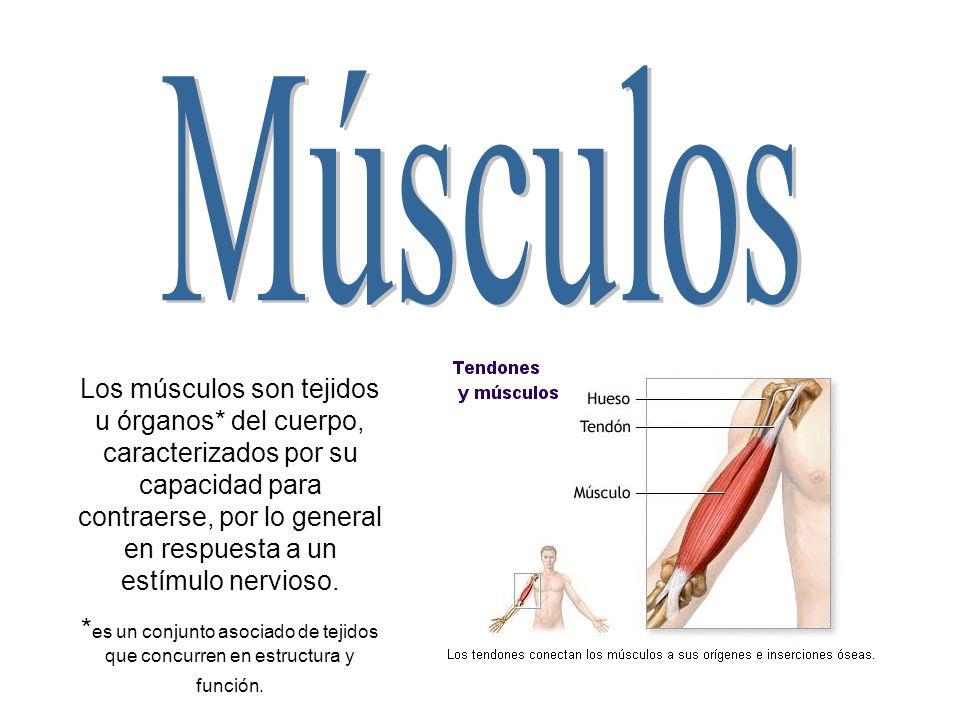 Los músculos son tejidos u órganos* del cuerpo, caracterizados por su capacidad para contraerse, por lo general en respuesta a un estímulo nervioso. *