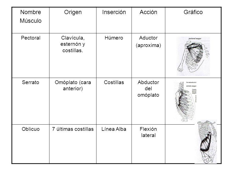 Nombre Músculo OrigenInserciónAcciónGráfico PectoralClavícula, esternón y costillas. HúmeroAductor (aproxima) SerratoOmóplato (cara anterior) Costilla