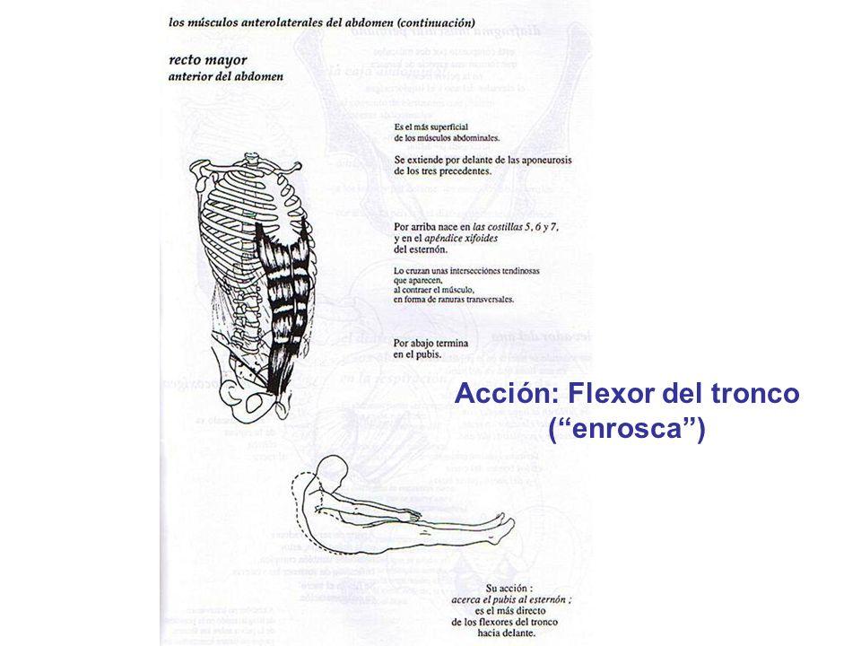 Acción: Flexor del tronco (enrosca)