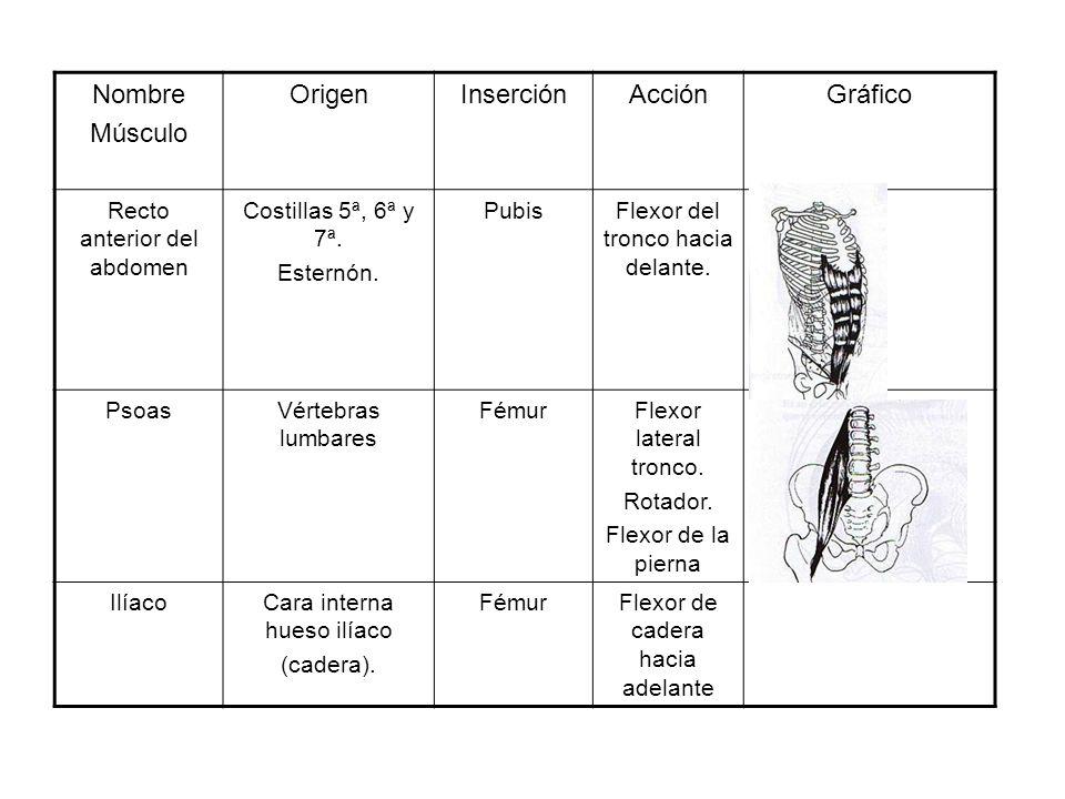 Nombre Músculo OrigenInserciónAcciónGráfico Recto anterior del abdomen Costillas 5ª, 6ª y 7ª. Esternón. PubisFlexor del tronco hacia delante. PsoasVér