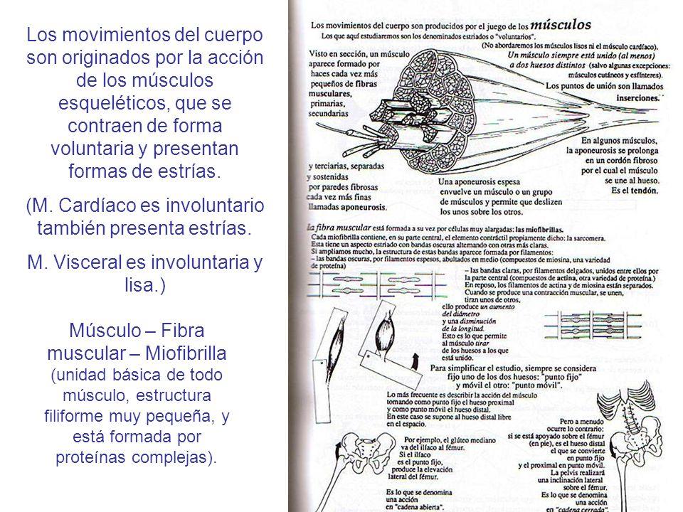 Los movimientos del cuerpo son originados por la acción de los músculos esqueléticos, que se contraen de forma voluntaria y presentan formas de estría