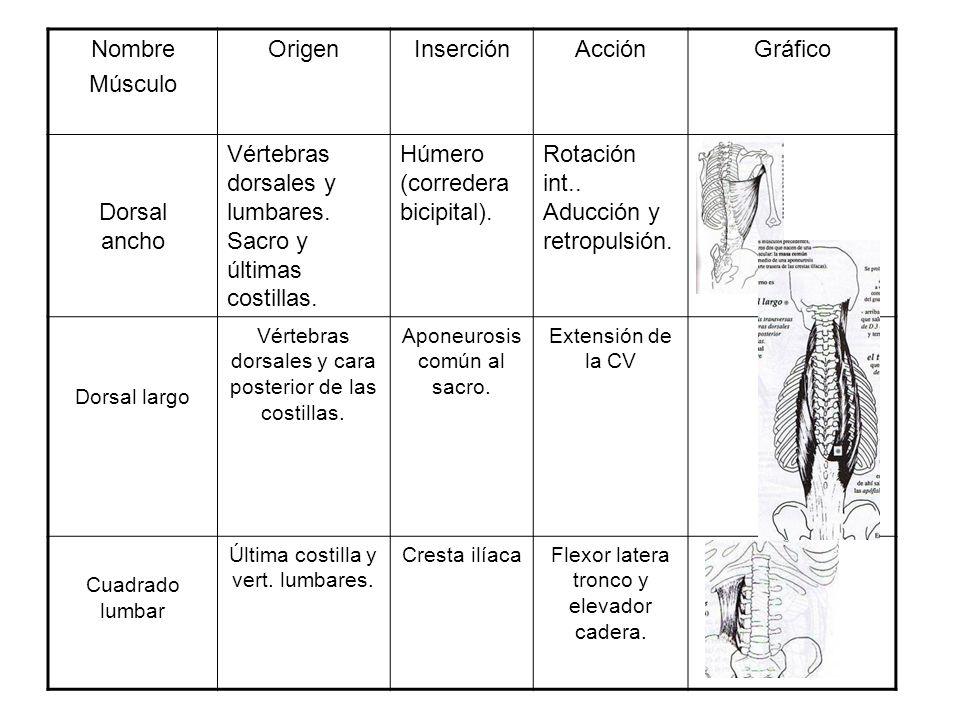 Nombre Músculo OrigenInserciónAcciónGráfico Dorsal ancho Vértebras dorsales y lumbares. Sacro y últimas costillas. Húmero (corredera bicipital). Rotac