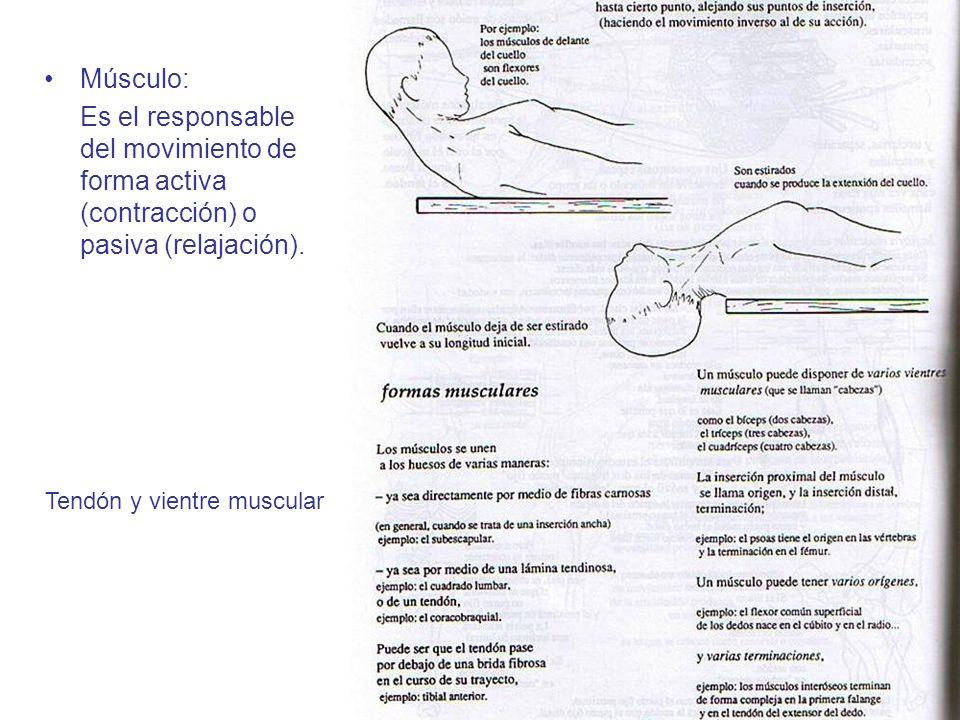 Músculo: Es el responsable del movimiento de forma activa (contracción) o pasiva (relajación). Tendón y vientre muscular
