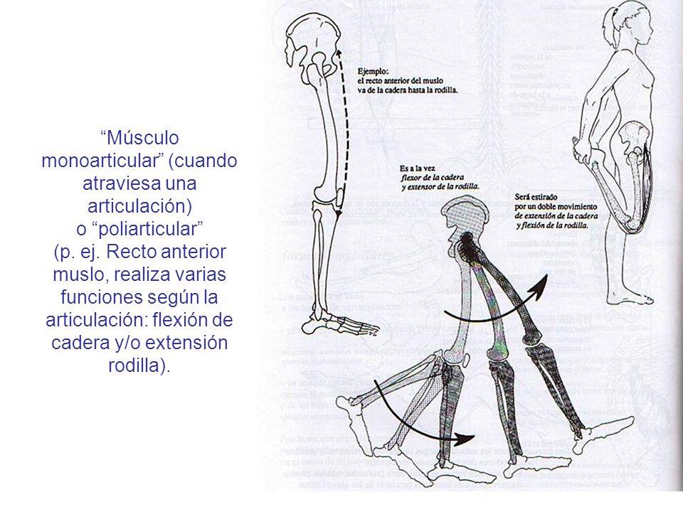 Músculo monoarticular (cuando atraviesa una articulación) o poliarticular (p. ej. Recto anterior muslo, realiza varias funciones según la articulación