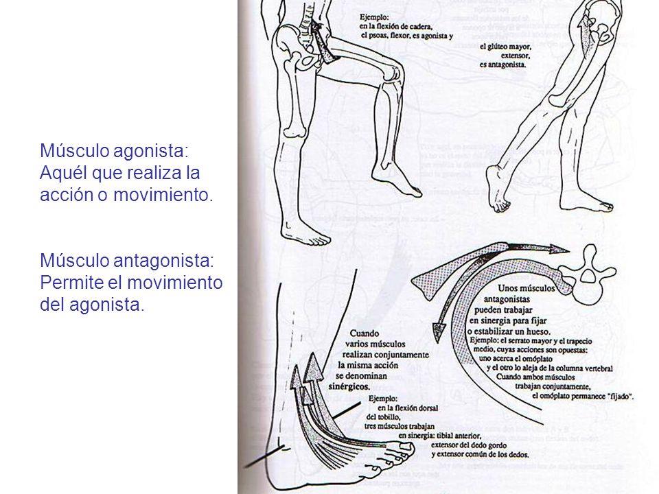 Músculo agonista: Aquél que realiza la acción o movimiento. Músculo antagonista: Permite el movimiento del agonista.