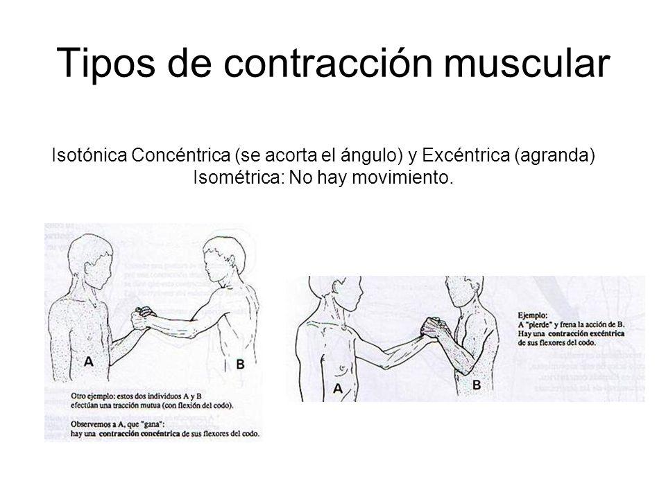 Tipos de contracción muscular Isotónica Concéntrica (se acorta el ángulo) y Excéntrica (agranda) Isométrica: No hay movimiento.