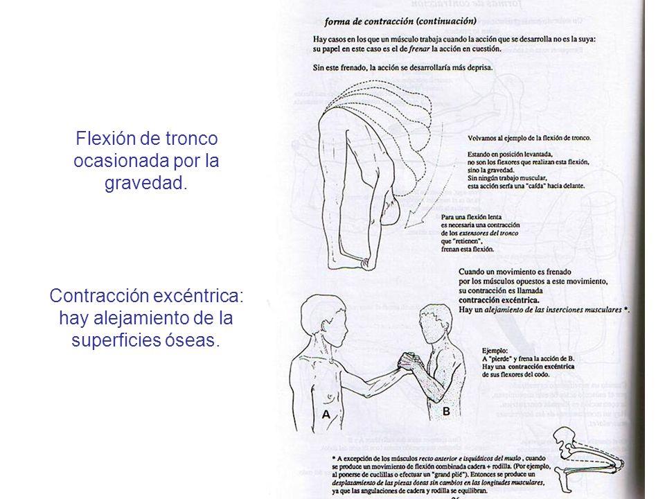 Contracción excéntrica: hay alejamiento de la superficies óseas. Flexión de tronco ocasionada por la gravedad.