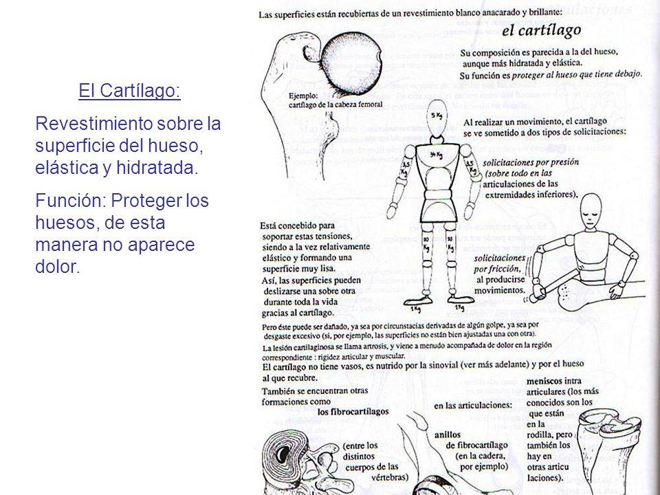 El Cartílago: Revestimiento sobre la superficie del hueso, elástica y hidratada. Función: Proteger los huesos, de esta manera no aparece dolor.