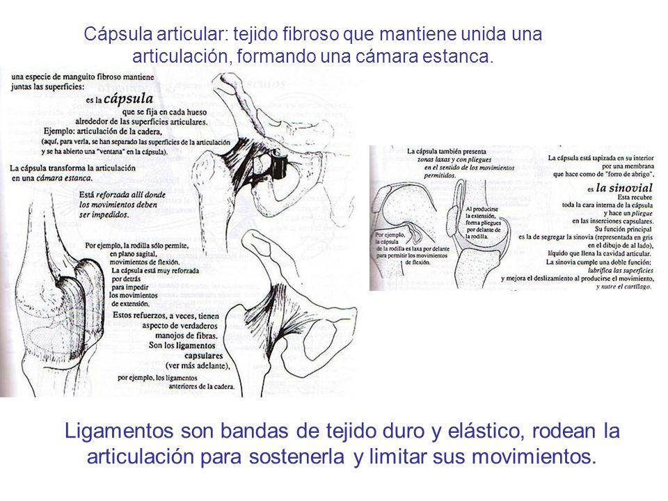 Cápsula articular: tejido fibroso que mantiene unida una articulación, formando una cámara estanca. Ligamentos son bandas de tejido duro y elástico, r
