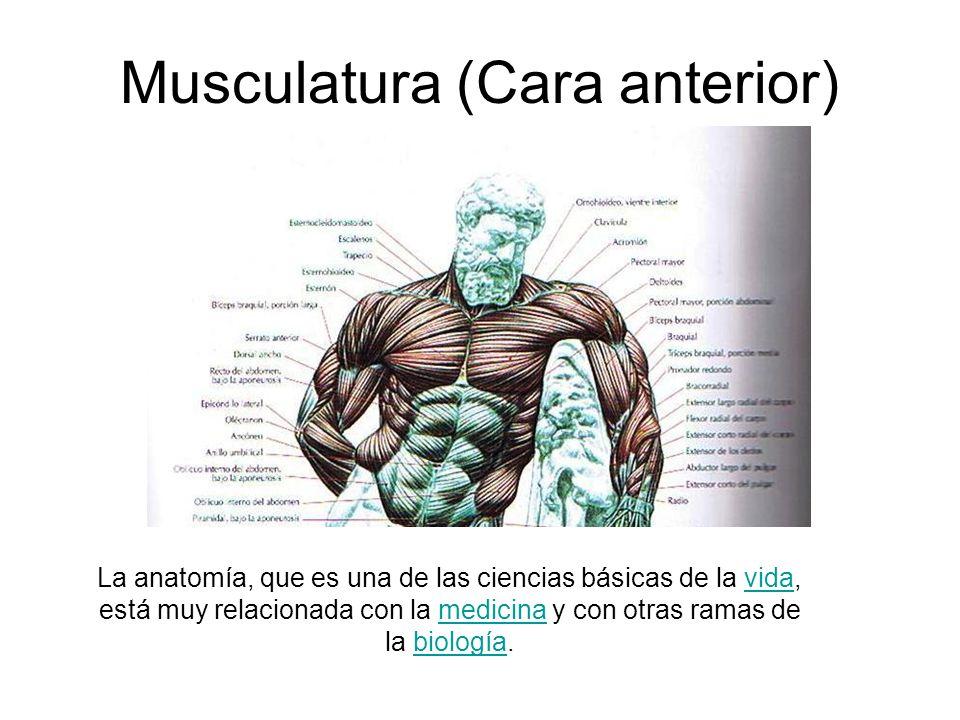 Musculatura (Cara anterior) La anatomía, que es una de las ciencias básicas de la vida, está muy relacionada con la medicina y con otras ramas de la b
