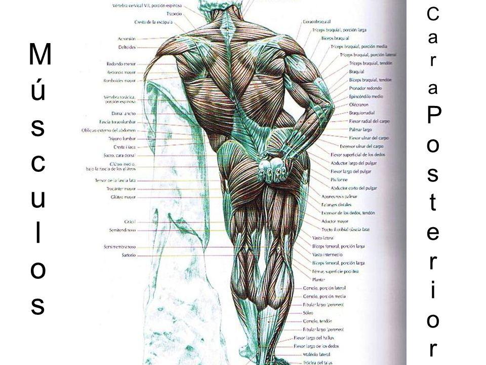 MúsculosMúsculos CaraPosteriorCaraPosterior