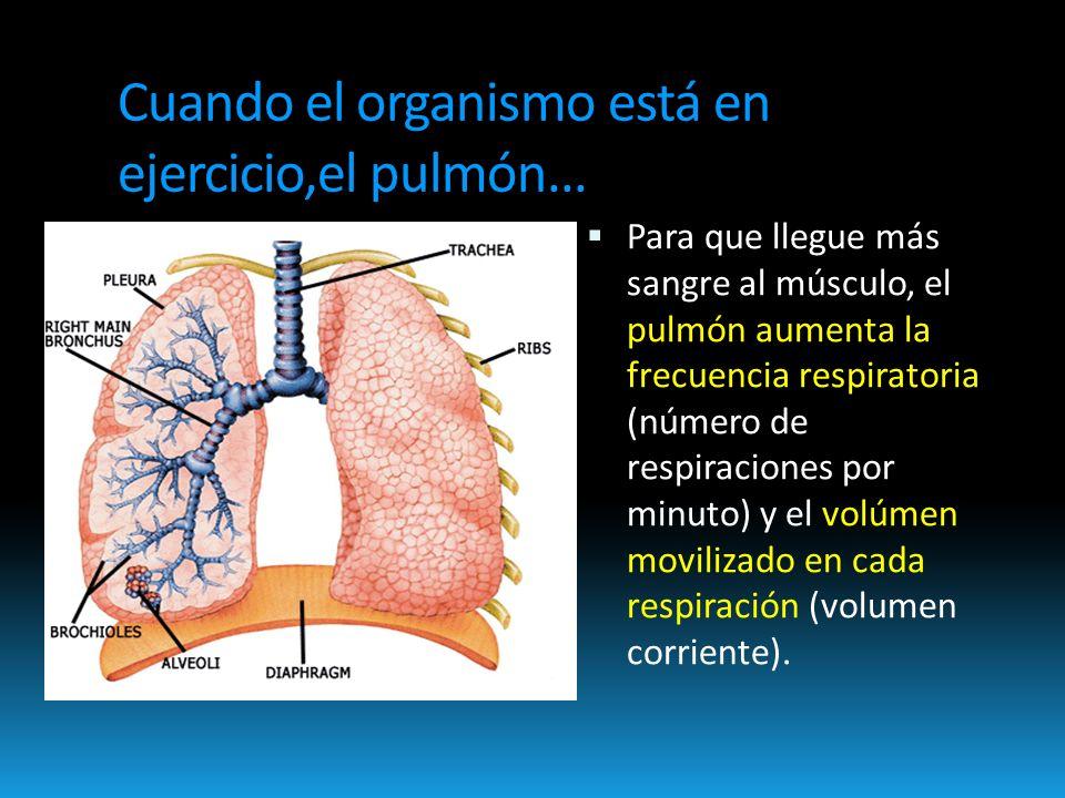 Cuando el organismo está en ejercicio,el pulmón...