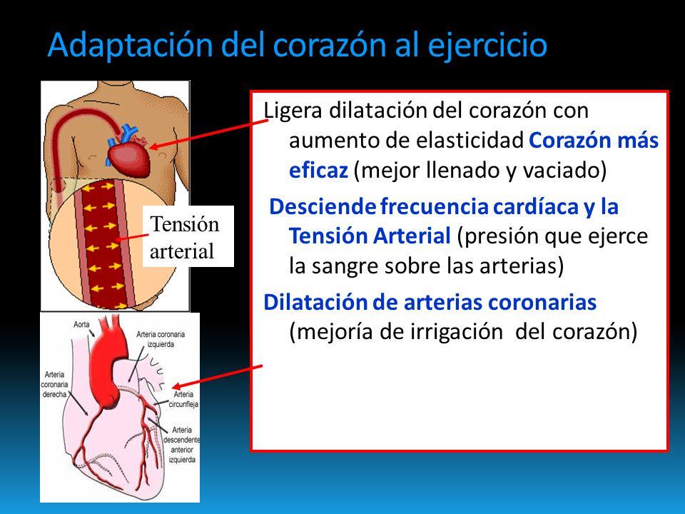 Adaptación del corazón al ejercicio Ligera dilatación del corazón con aumento de elasticidad Corazón más eficaz (mejor llenado y vaciado) Desciende frecuencia cardíaca y la Tensión Arterial (presión que ejerce la sangre sobre las arterias) Dilatación de arterias coronarias (mejoría de irrigación del corazón) Tensión arterial
