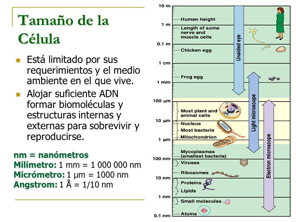 30 µm 10 µm Área 1 célula = 900 µm 2 Volumen = 2700 µm 3 Área de 27 células pequeñas = 27000 µm 2 Volumen = 2700 µm3 Proporción ente superficie y volumen Células pequeñas tienen más superficie por área de volumen que células grandes