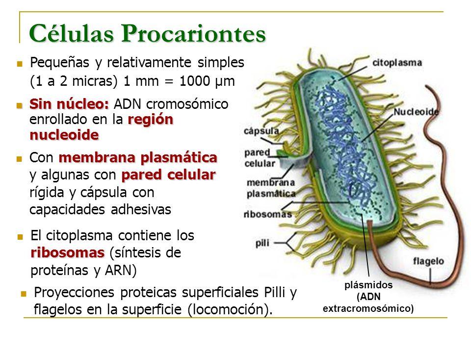 Organismo unicelular dotado de flagelo