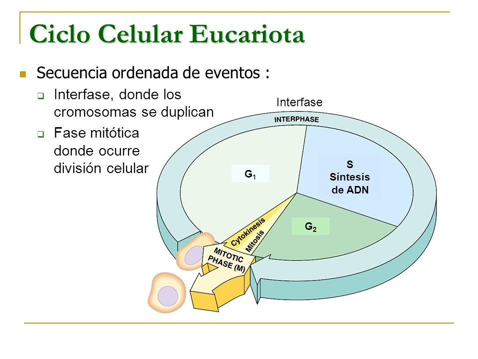 G1G1 S Síntesis de ADN G2G2 Interfase Secuencia ordenada de eventos : Interfase, donde los cromosomas se duplican Fase mitótica donde ocurre división