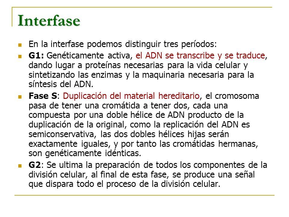 Interfase En la interfase podemos distinguir tres períodos: G1: Genéticamente activa, el ADN se transcribe y se traduce, dando lugar a proteínas neces