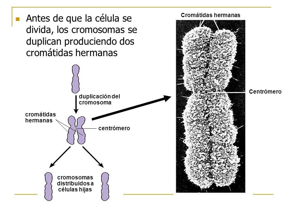 Centrómero Cromátidas hermanas duplicación del cromosoma cromátidas hermanas centrómero cromosomas distribuidos a células hijas Antes de que la célula