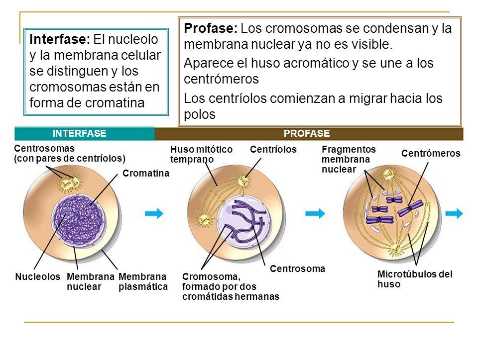 INTERFASEPROFASE Centrosomas (con pares de centríolos) Cromatina NucleolosMembrana nuclear Membrana plasmática Huso mitótico temprano Centríolos Centr