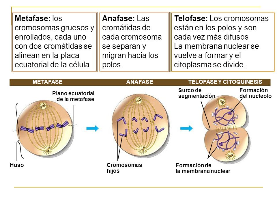 METAFASETELOFASE Y CITOQUINESIS Plano ecuatorial de la metafase HusoCromosomas hijos Surco de segmentación Formación del nucleolo Formación de la memb