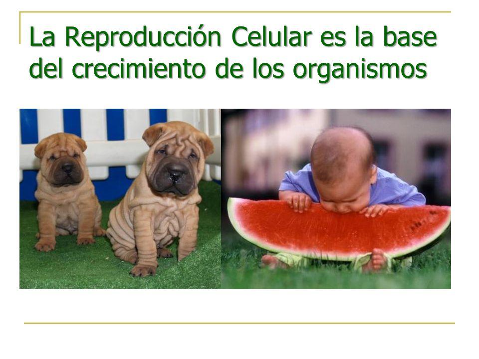 La Reproducción Celular es la base del crecimiento de los organismos