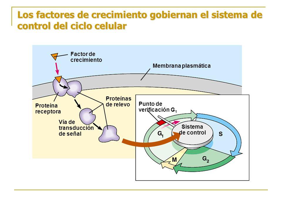 Los factores de crecimiento gobiernan el sistema de control del ciclo celular Factor de crecimiento Sistema de control Membrana plasmática Proteína re